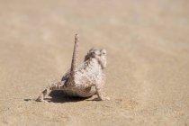 Afrique, Namibie, désert du Namib, Swakopmund, Namaqua caméléon, Chamaeleo namaquensis, sur le sable, vue arrière — Photo de stock