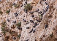 Turchia, Anatolia, Sanliurfa, Pidgeons seduta sulla parete rocciosa — Foto stock