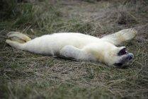Jeune phoque gris couché sur la prairie le jour — Photo de stock