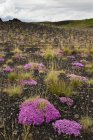 Iceland, pink blooming plants in the Southern Highland Region  during daytime — Stock Photo