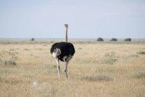 África, Namibia, Parque Nacional de Etosha, el avestruz africano en campo, Struthio camelus - foto de stock