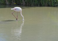 Flamingo with head under water — Stock Photo