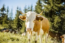 Cow on sunny meadow — Stock Photo