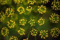 Alemania, Flor de eneldo, primer plano sobre fondo borroso - foto de stock