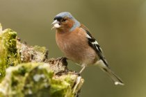 Germany, Hesse, Chaffinch perching on tree trunk — Stock Photo