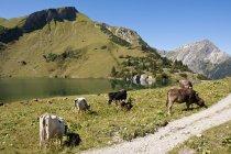 Vaches broutant sur meadow6 — Photo de stock