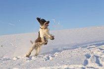 Épagneul springer anglais — Photo de stock