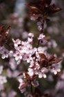 Черри цветы в саду, на размытие фона — стоковое фото