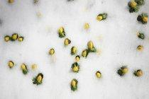 Winter aconite in snow, full frame — Stock Photo