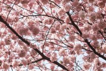 Blossoming tree branches in spring — Stock Photo