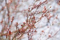 Germany, Blossoming tree on blurred background — Stock Photo