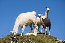 Лам, пасущихся на альпийском лугу — стоковое фото