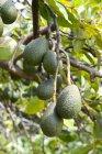 Avocado che cresce sull'albero durante il giorno — Foto stock