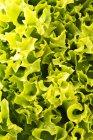 Foglie fresche di insalata lollo bianco — Foto stock