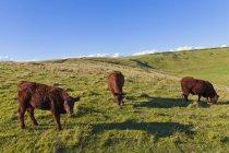 Англия, коровы, пасущиеся на пастбищах в Западном Лулуорте — стоковое фото