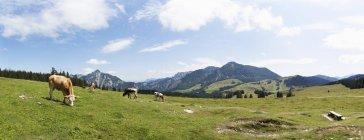Kühe auf der Alp Weide — Stockfoto