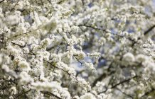 Blossoming fruit tree branches — Stock Photo