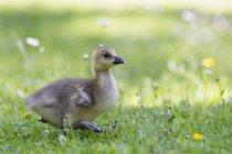 Filhote de ganso do Canadá — Fotografia de Stock