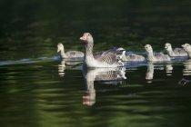 Oca con pulcini che galleggia in acqua — Foto stock