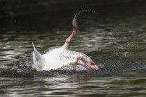 Baño de ganso de Greylag - foto de stock