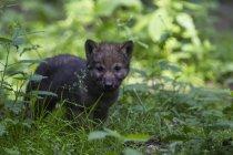 Сірий вовк цуценя ходити на траві у лісі — стокове фото