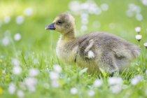 Filhote de ganso do Canadá na florescência Prado — Fotografia de Stock