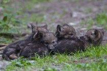 Сірий вовк цуценят — стокове фото