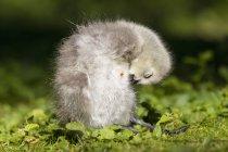 Oca facciabianca pulcino su erba in natura — Foto stock