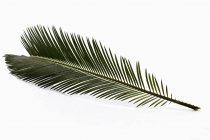 Саго palm leaf на білому тлі, крупним планом — стокове фото