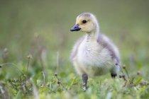 Permanente de filhote de ganso do Canadá na grama — Fotografia de Stock