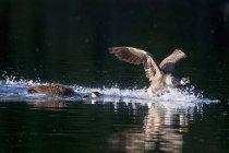 Канада Гусаки купання у воді — стокове фото