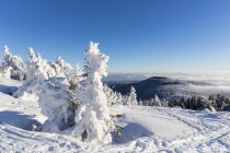 Germania, Baviera, Alberi innevati nella Foresta Bavarese — Foto stock