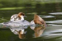 Goosander з курча на спині, купання в ставок — стокове фото