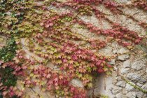 Efeu wächst an Mauer — Stockfoto