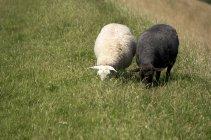 Herbe brouteuse de moutons noirs et blancs pendant la journée — Photo de stock