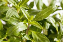 Close-up of potted Bohnenkraut savory herb — Stock Photo