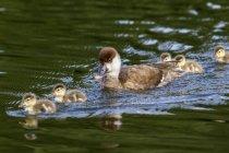 Чубата Pochard з курчатами плаваючі у воді — стокове фото