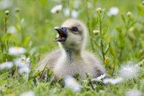 Barnacle goose pinto — Fotografia de Stock
