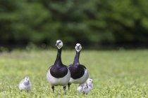 Белощекая гусей с птенцами — стоковое фото