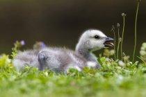 Закри белощекие гусака курча на траві — стокове фото