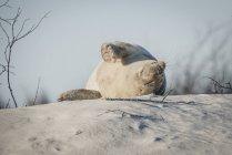 Allemagne, Helgoland, phoque gris dormant sur une dune sur la plage — Photo de stock