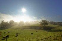 Alemanha, Baviera, Alta Baviera, Icking, pasto na névoa da manhã — Fotografia de Stock