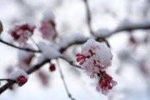 Árbol de nieve en flor cubierto de nieve, primer plano - foto de stock