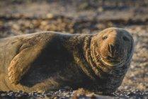 Германия, Гельголанд, портрет серого тюленя, лежащего на пляже на закате — стоковое фото