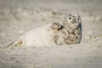 Allemagne, Helgoland, petit phoque gris couché sur la plage — Photo de stock