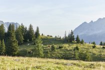 Austria, Tyrol, Mieming Plateau, cows on alpine meadow — Stock Photo