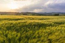 Austria, Alta Austria, Muehlviertel, campo de grano al atardecer - foto de stock