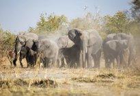 Африка, Намибия, Каприви, африканские слоны кружатся в пыли — стоковое фото