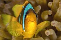Egipto, Mar Rojo, Hurghada, pez anémona del mar Rojo - foto de stock