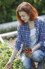 Female gardener harvesting strawberries — Stock Photo